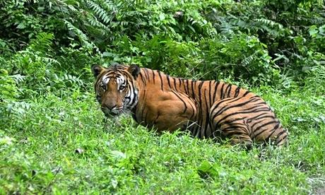 Royal-Bengal-Tiger