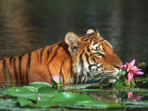 The-royal-bengal-tiger