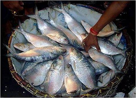 hilsa-ilish-national-fish-bangladesh.jpg