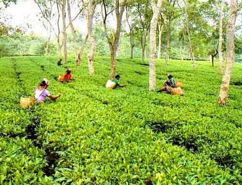 Sylhet Tea garden in Bangladesh