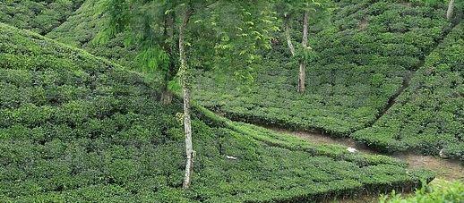Tea estate in Bangladesh