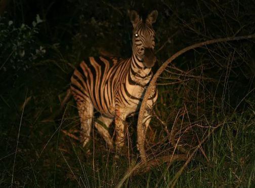 The Nocturnal Wildlife Park or Night Safari.